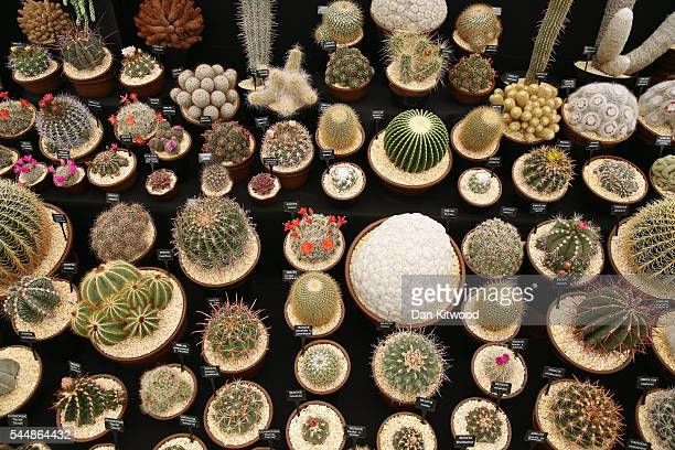Cacti are displayed in the Floral Marquee tent during the press preview day of the Hampton Court Palace Flower Show on on July 4 2016 in London...