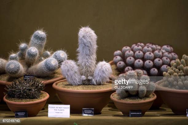 Cacti are displayed on the eve of the opening day of the Harrogate Spring Flower Show at the Great Yorkshire Showground in Harrogate northern England...