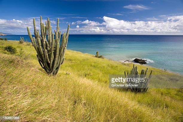 Cacti at the coast, province of Guantanamo, Cuba