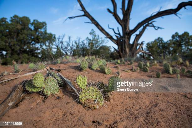 cacti in canyonlands national park near moab, utah - desert_climate stock pictures, royalty-free photos & images