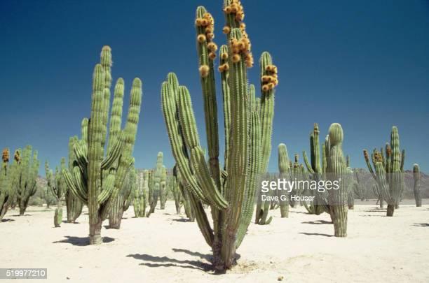 Cacti in Sonoran Desert