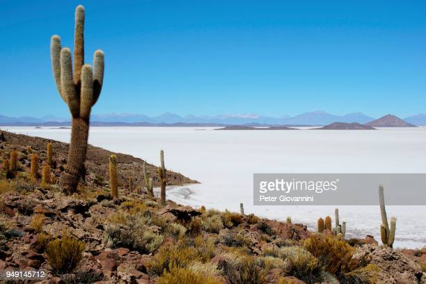 Cacti (Echinopsis atacamensis) on the island of Isla Pescado in the salt lake, Salar de Uyuni, Uyuni, Potosi, Bolivia