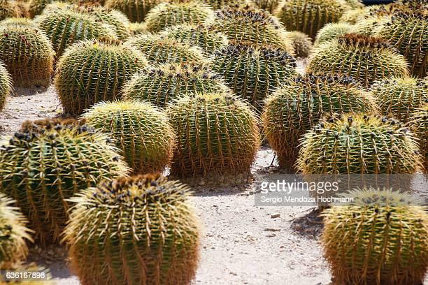 cactii in cabo san lucas, mexico - baja california peninsula stock pictures, royalty-free photos & images