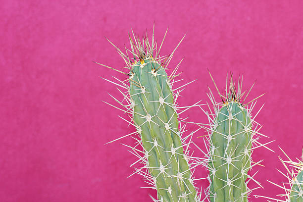 Cactus against a bright pink wall.