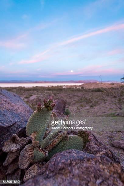 cactus and full moon - san bernardino california stock pictures, royalty-free photos & images