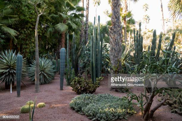 Cactus collection at the Majorelle Garden on January 04 2018 in Marrakesh Morocco The Jardin Majorelle in Marrakech is one of the most visited sites...