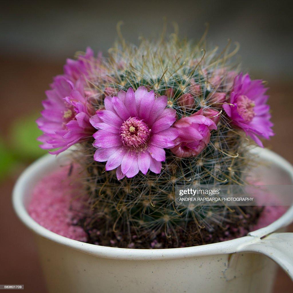 Cactus flowers : Stock Photo