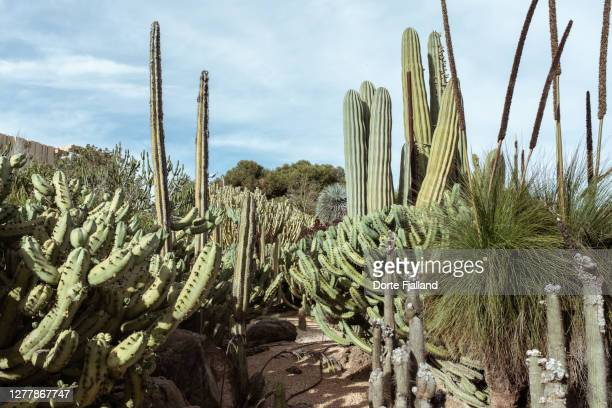 cactus garden with many different cacti against a pale blue sky - dorte fjalland fotografías e imágenes de stock