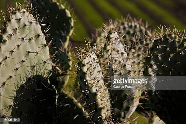 Cactus growing along the road in Ballard Canyon is viewed on December 26 in Solvang California Because of its close proximity to Southern California...