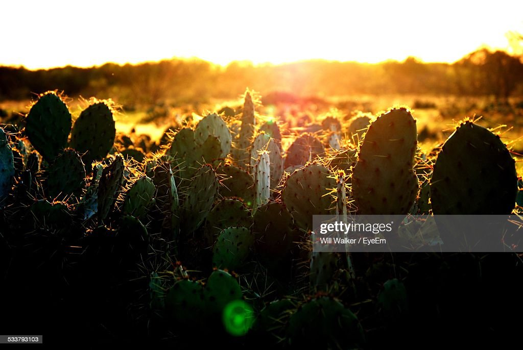 Cactus Growing On Field Against Orange Sky : Foto stock