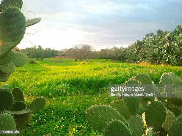 Cactus Growing On Grassy Field