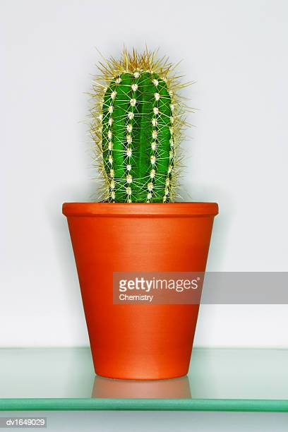 Cactus in a Plant Pot