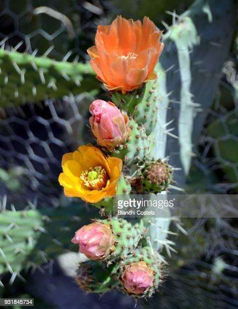 Cactus in bloom in nature
