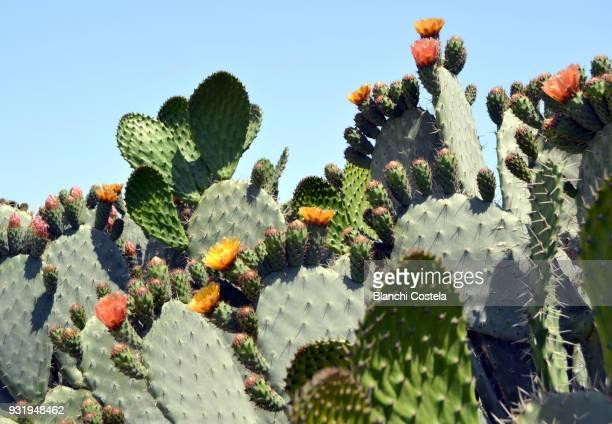cactus in bloom in nature - cactus fotografías e imágenes de stock