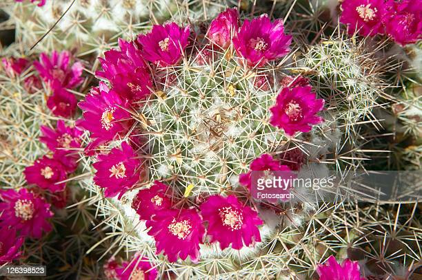 Cactus in bloom in spring
