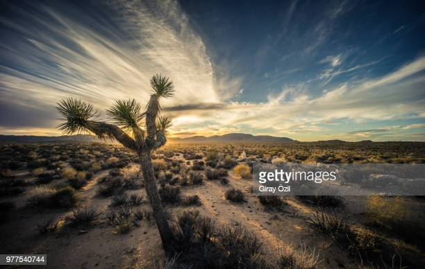 cactus in desert against mountains, california, usa - joshua tree stock photos and pictures