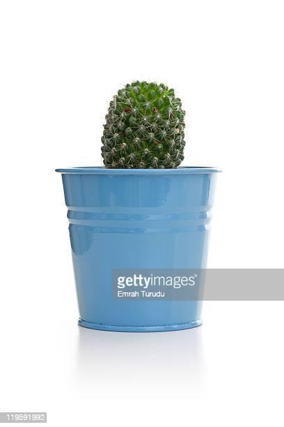 Cactus in the blue pot