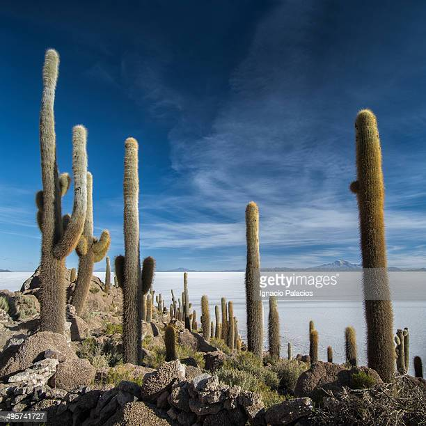 Cactus, Isla Incahuasi (Fish Island)