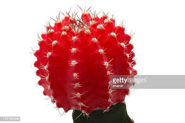 Cactus Makro