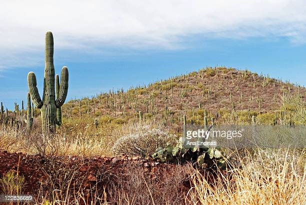 cactus on hills - sonora mexico stock photos and pictures