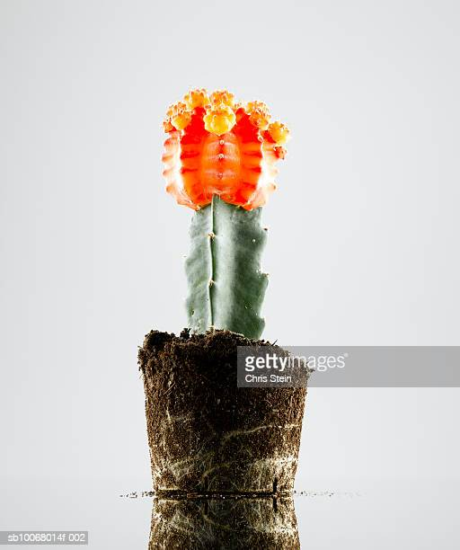 Cactus on white background