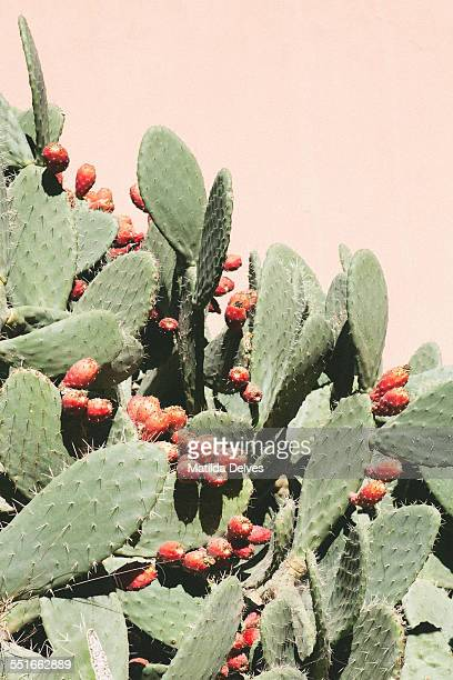 Cactus or prickly pear by a pink wall, Morocco