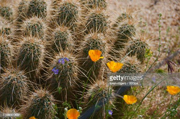 cactus - pinnacle peak stock pictures, royalty-free photos & images