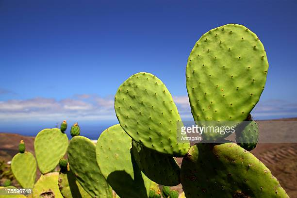 cactus - prickly pear cactus stock photos and pictures