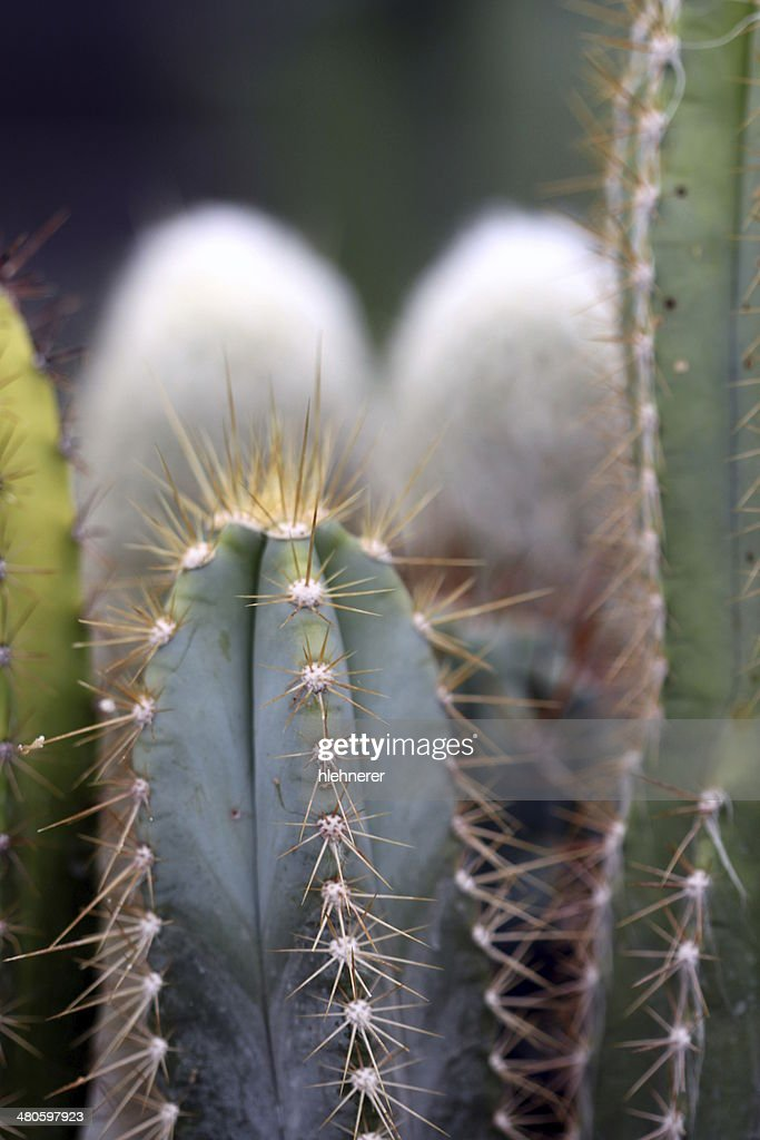 cactus : Stock Photo