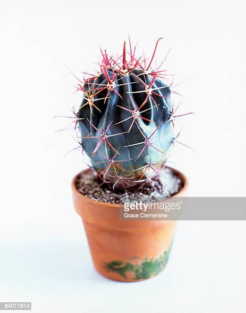 Cactus (Ferocactus latispinus)
