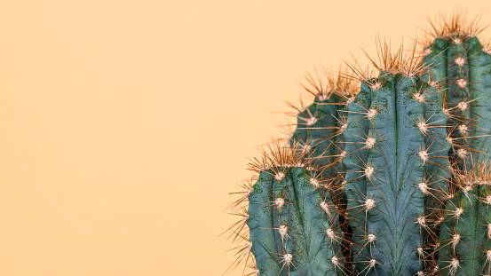Cactus plant close up. Trendy yellow minimal background with cactus plant. 921667568
