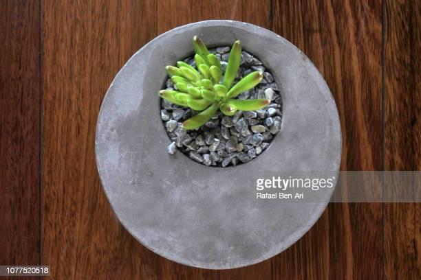 Cactus Plant in a Round Concrete Pot