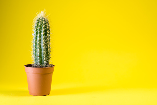 cactus plant isolated 911526302