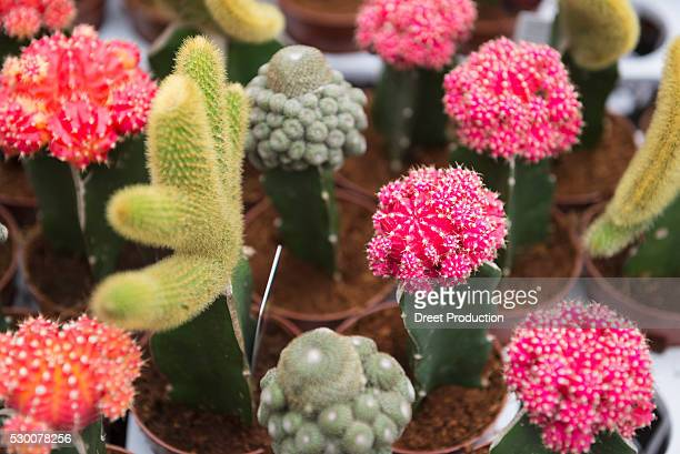 Cactus plants for sale in garden centre, Augsburg, Bavaria, Germany