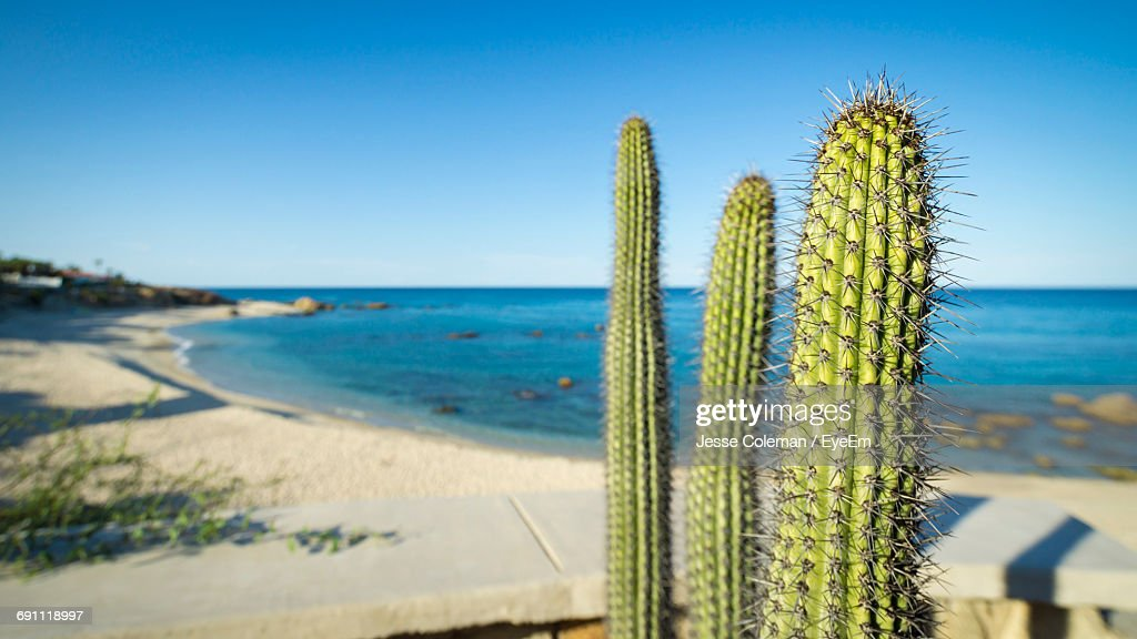 Cactus Plants Growing Against Sea On Sunny Day : Stock Photo
