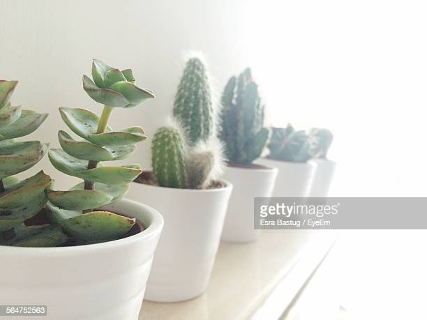 Cactus Plants In Pots On Rack