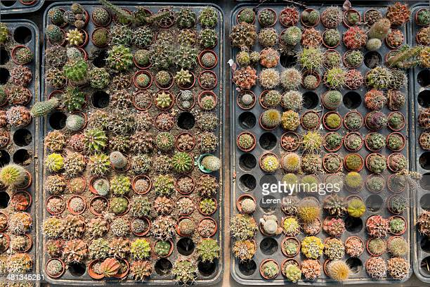 cactus plants on a plate - leren stock pictures, royalty-free photos & images