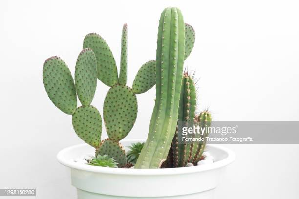 cactus pots - pot plant stock pictures, royalty-free photos & images