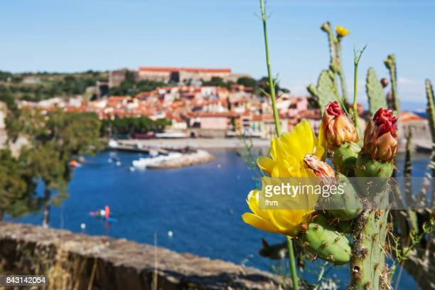 A cactus with blossoms, famous Collioure in background - village in south of France (Cote Vermeille, France)