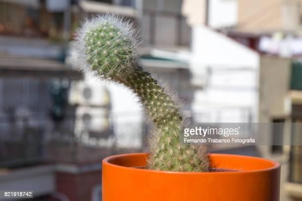 cactus with penis shape - consolador fotografías e imágenes de stock