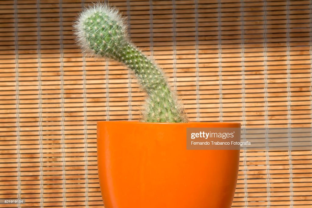 Cactus with penis shape : Stock Photo