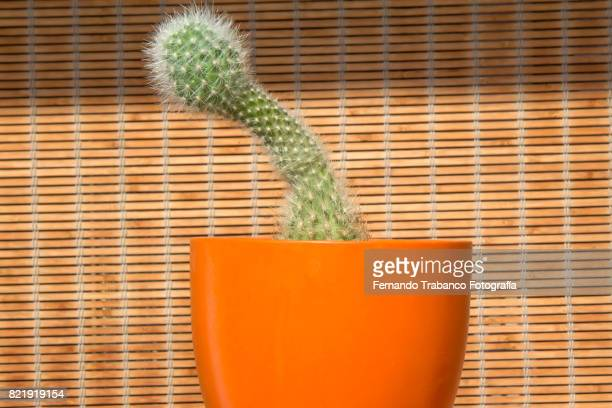 Cactus with penis shape