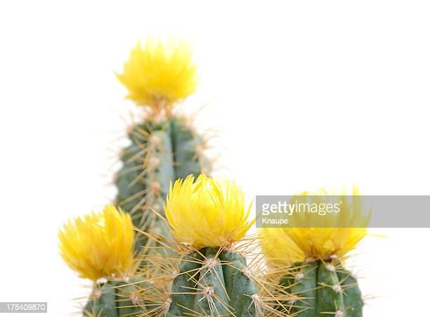 Cactus mit gelben Blüten auf weißem Hintergrund