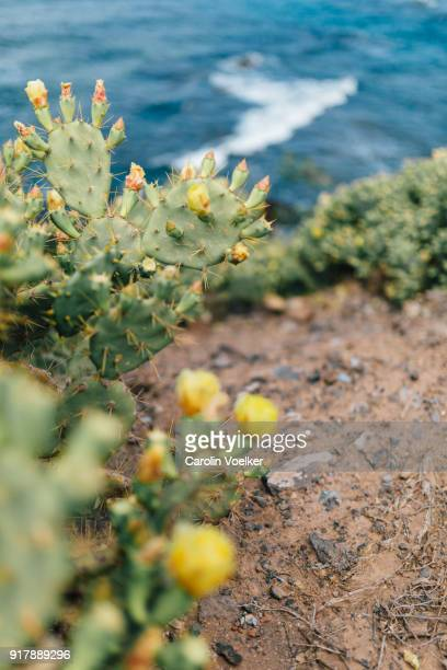 Cactus with yellow cactus flower along the ocean shore, Canary Island