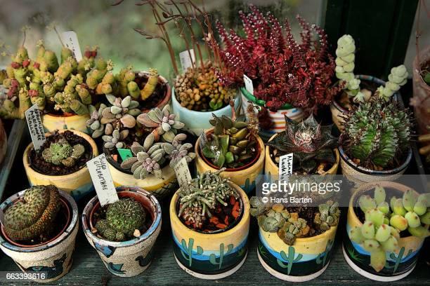 cactusen in colored pots