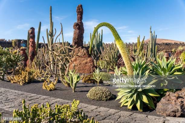 cactuses in lanzarote, spain. sunny day in lanzarote, canary islands - francesco riccardo iacomino spain foto e immagini stock