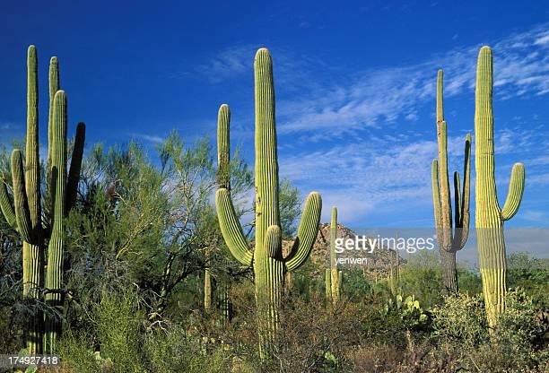 Cactuses in Saguaro National Park