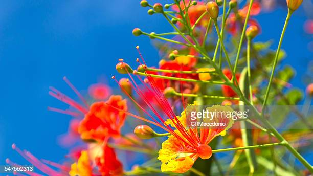 caesalpinia pulcherrima - crmacedonio stockfoto's en -beelden