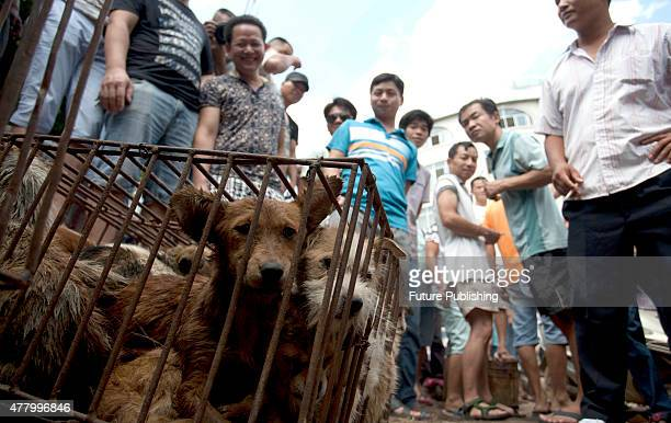 Caged dogs wait to be sold in a market on June 21, 2015 in Yulin, China. Yulin's dog meat festival, where some 10,000 dogs are slaughtered and served...