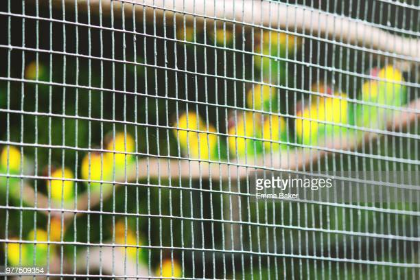 caged lovebirds - emma baker stock pictures, royalty-free photos & images
